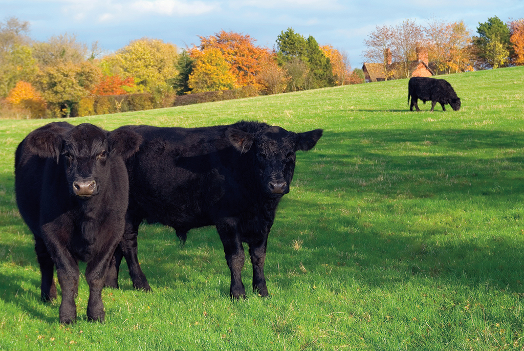 Black angus in de weide
